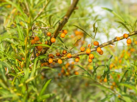 Tasty orange sea buckthorn grows on a tree. Berries on a branch. Medicinal berry. Sea buckthorn oil.