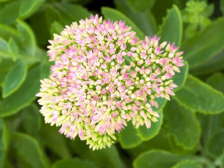 Decorative garden flower. Perennial. Stonecrop bloomed in the garden. Pink flower. Gardening