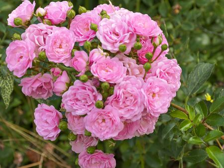 Beautiful decorative rose blooms in the garden in nature. Pink bouquet of flowers. Buds of roses. Banque d'images - 132122946