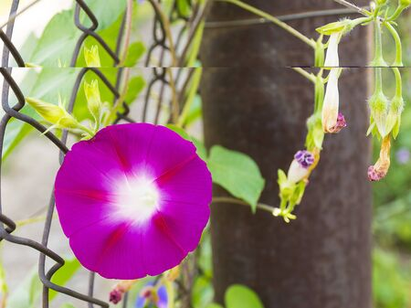 Beautiful curly purple flower. Green vine on a fence in the garden. Ornamental plant for the garden.