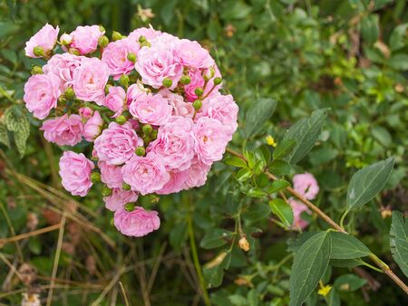 Beautiful decorative rose blooms in the garden in nature. Pink bouquet of flowers. Buds of roses.