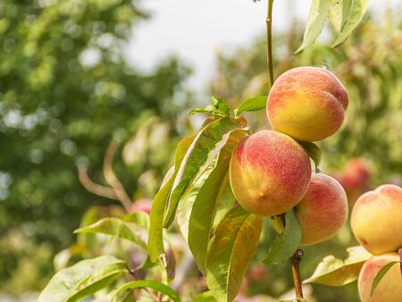 Ripe sweet peaches grow on a tree in the garden. Fruit on a branch. Harvesting in the fall. Natural vitamins. Vegetarian food. 写真素材