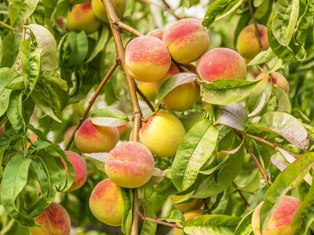 Ripe sweet peaches grow on a tree in the garden. Fruit on a branch. Harvesting in the fall. Natural vitamins. Vegetarian food. Stok Fotoğraf
