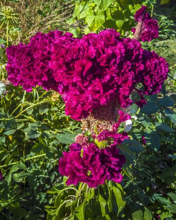 An unusual flower of celosia grows in the garden. The flower looks like a cockscomb. Red bud. Gardening. Stok Fotoğraf