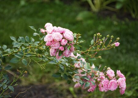 Beautiful decorative rose blooms in the garden in nature. Pink bouquet of flowers. Buds of roses. Banque d'images - 132122780