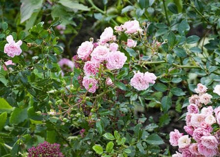 Beautiful decorative rose blooms in the garden in nature. Pink bouquet of flowers. Buds of roses. Banque d'images - 132123515