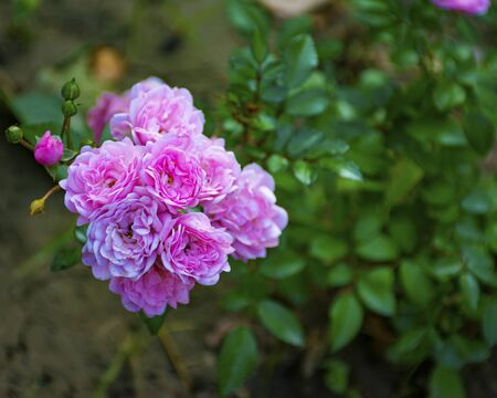 Beautiful decorative rose blooms in the garden in nature. Pink bouquet of flowers. Buds of roses. Banque d'images - 132122791