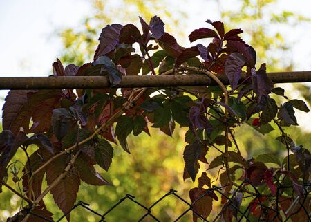 Beautiful curly purple flower. Autumn. Red leaves. Grapes Green vine on a fence in the garden. Ornamental plant for the garden. Stok Fotoğraf