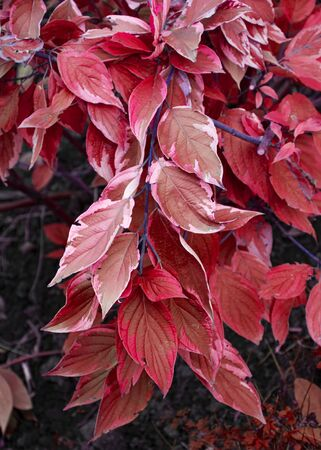 Decorative garden flower. Perennial. Bush in the garden with pink and red leaves. Autumn