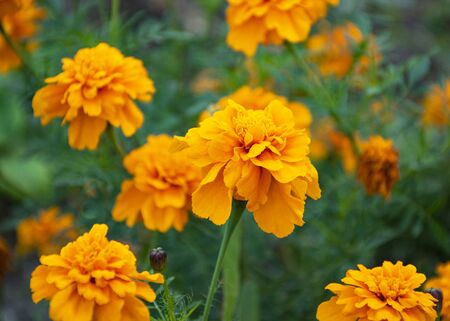 beautiful yellow flower. marigold. flowers for the garden.
