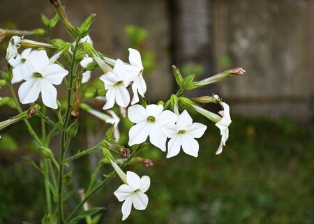 Beautiful bright flower grows in the garden. Tobacco. White flower. Pink flower. An interesting texture of flowers. Ornamental plant for the garden. Garden decoration.