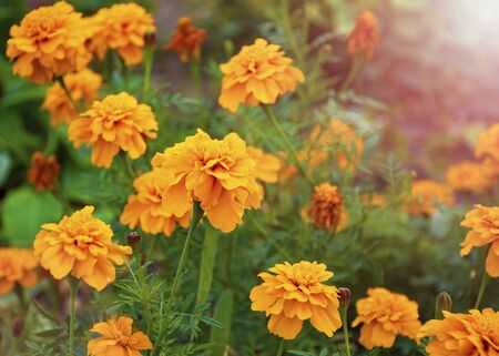 beautiful yellow flower. marigold. flowers for the garden. Stock Photo
