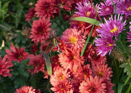 A large yellow spider weaves a cobweb in the garden against a background of pink chrysanthemums. Spider web on flowers. Insect in the garden. Fear of spiders Banco de Imagens