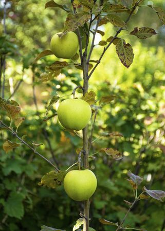 Beautiful young apples grew in the autumn on a young tree. Juicy fruits. Vitamins on a tree. Banco de Imagens