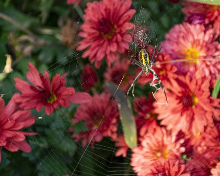 A large yellow spider weaves a cobweb in the garden against a background of pink chrysanthemums. Spider web on flowers. Insect in the garden. Fear of spiders.
