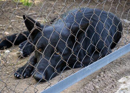 Le chien noir vit dans le chenil. Regard très triste d'un chien. Le chien derrière la clôture est seul et sans abri. Animal abandonné. Banque d'images