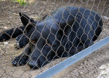 The black dog lives in the kennel. Very sad look of a dog. The dog behind the fence is lonely and homeless. Abandoned animal.