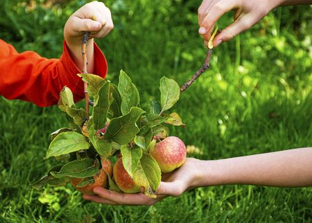 Childrens hands are holding beautiful young apples. In autumn, children pick apples from the tree. Harvesting the autumn harvest. Juicy fruits. Vitamins are natural.