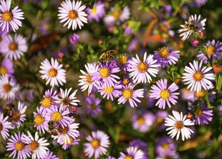 Perennial decorative flowers for the garden. Blue aster blooms in the garden in autumn. Plant for flower beds. Bees fly over flowers Stock Photo
