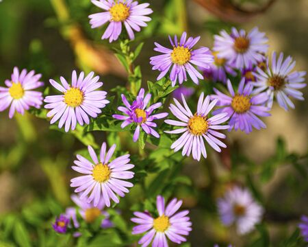 Perennial decorative flowers for the garden. Blue aster blooms in the garden in autumn. Plant for flower beds