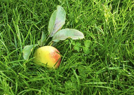 Beautiful young apples lie on the green grass in the fall. Harvesting the autumn harvest. Juicy fruits. Vitamins are natural.