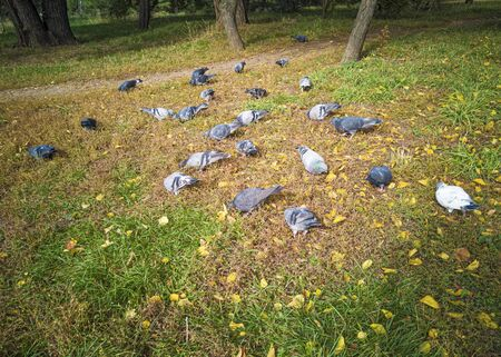Pigeons eat on the grass in the park. Birds flew into the city. Banco de Imagens