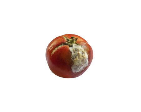 Moldy red tomato with white mold. Stale food. Leftover food in the kitchen. Chemistry in vegetables.  Stockfoto