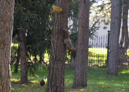 Beautiful red-haired fluffy squirrel plays in a city park. The natural habitat of animals. Big fluffy tail.