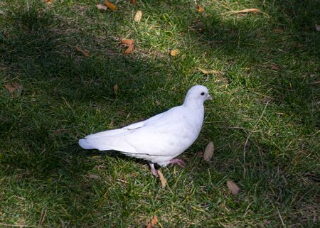 A white dove walks through a city park. The look of the pigeon. Ornithology is the science of birds. Banco de Imagens
