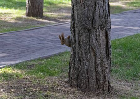 Beautiful red-haired fluffy squirrel plays in a city park. The natural habitat of animals. Big fluffy tail.  Banco de Imagens