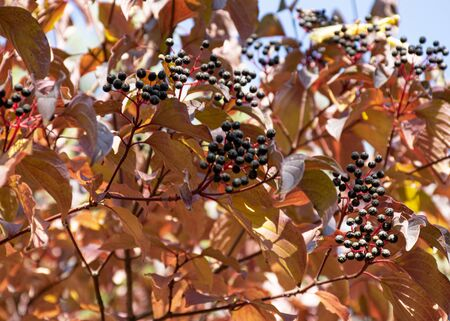 Red autumn leaf hanging on a tree in the park. Ornamental plant for the garden. Autumn. A bunch of black berries against a blue sky.