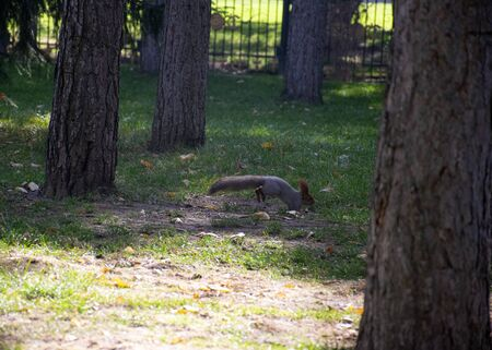 Beautiful red-haired fluffy squirrel plays in a city park. The natural habitat of animals. Big fluffy tail.  Reklamní fotografie