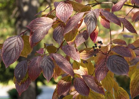 Red and green autumn leaves hang on a tree in the park. Ornamental plant for the garden. Autumn leaf fall.