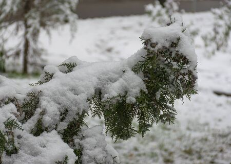Evergreen coniferous trees in the snow. Thuja and spruce branches in the first white snow. Cloudy snow day.