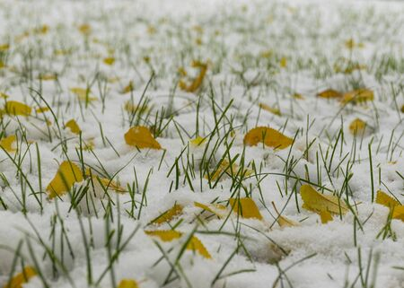 The first snow fell in the fall. Snow on the green grass with yellow leaves. Cloudy snowy weather. Background. 写真素材