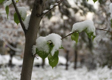 The first snow fell in the fall. Snow lies on green and yellow leaves. Snowfall and winter. Cloudy snowy weather. 写真素材