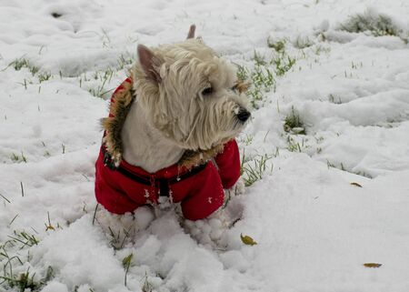 A white dog in red clothes walks in the park in the snow. Jumpsuit for dogs. Favorite pet 写真素材