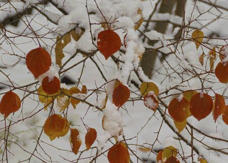 The first snow fell in the fall. Snow lies on green and yellow leaves. Snowfall and winter. Cloudy snowy weather