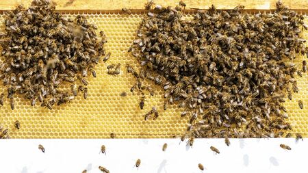 A swarm of bees works on honeycombs in an apiary. Bee honeycombs with bees and honey.