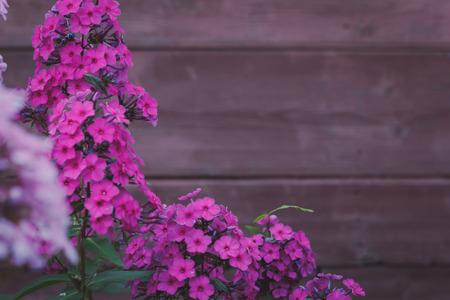 Phlox paniculata Garden phlox in bloom