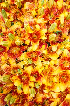 Tiger Lily fiori in un giardino. Lilium lancifolium. Sfondo completamente pieno di fiori. Archivio Fotografico - 106857413