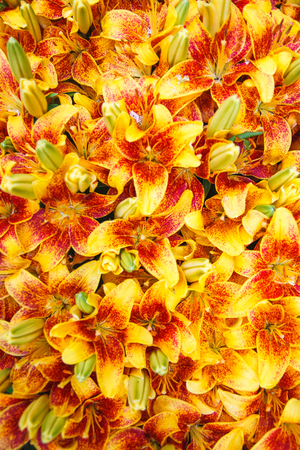 Tiger Lily flowers in a garden. Lilium lancifolium. Fully filled background with flowers. Stock Photo