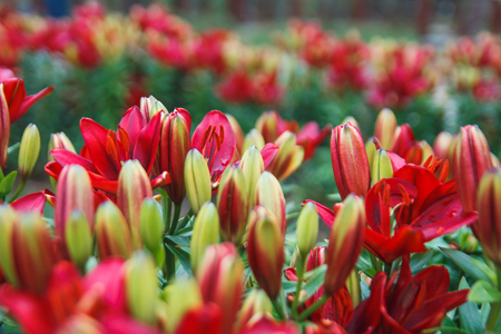Red lily flowers background. Full blooming of deep red asiatic lily in summer flower garden. Bright red and green and beautiful asiatic lilies background. Reklamní fotografie - 106857429