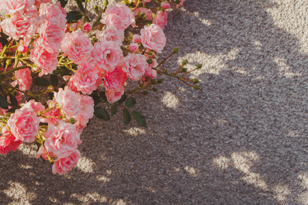 Pink Damask rose bush closeup on grey wall background. Small bush roses. The evening light beautifully illuminates. Cool tint for a social network.