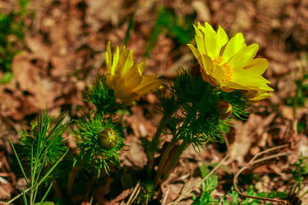 Adonis vernalis is a perennial flowering plant in steppe. Early spring flowers. Beautiful yellow wildflowers. Spring mood. Blooms in early spring Foto de archivo - 122107228