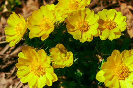 Adonis vernalis is a perennial flowering plant in steppe. Early spring flowers. Beautiful yellow wildflowers. Spring mood. Blooms in early spring Foto de archivo - 122107237