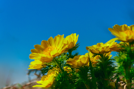 Adonis vernalis is a perennial flowering plant in steppe. Early spring flowers. Beautiful yellow wildflowers. Spring mood. Blooms in early spring Foto de archivo - 122107286