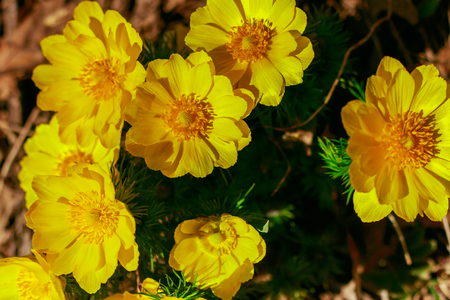 Adonis vernalis is a perennial flowering plant in steppe. Early spring flowers. Beautiful yellow wildflowers. Spring mood. Blooms in early spring Foto de archivo - 122107287