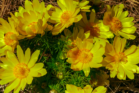 Adonis vernalis is a perennial flowering plant in steppe. Early spring flowers. Beautiful yellow wildflowers. Spring mood. Blooms in early spring Foto de archivo - 122107335