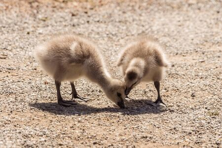 Barracks in Skansen, Stockholm, Sweden. Geese in the meadow. Goose babies. Two cute fluffy little newborn young goose.